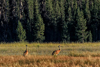 Sand Hill cranes spending summer at Sparks Meadow.