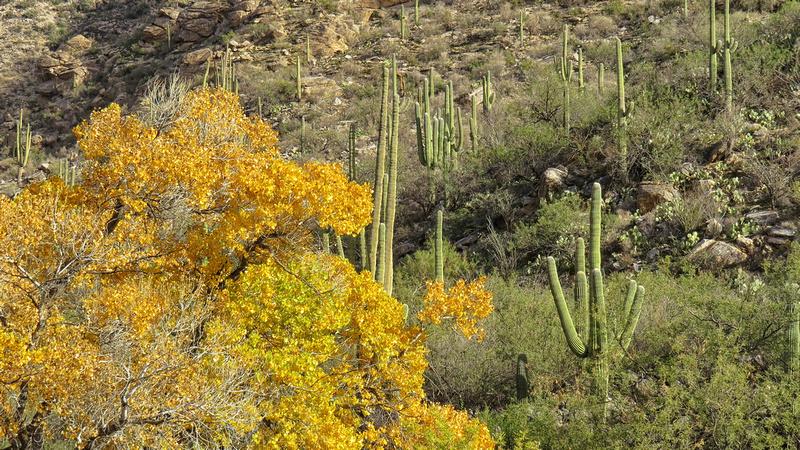 Fall color and saguaro